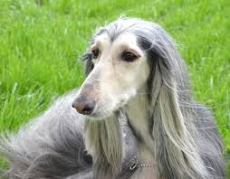 afghan hound arizona taboo arizona animal actors