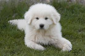 great pyrenees rescue provides wonderful dogs to good homes colorado great pyrenees rescue community breeders versus rescues