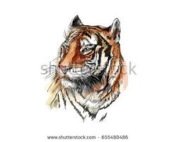 tiger realistic drawing stock images royalty free images
