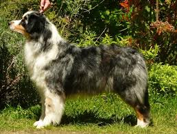d azumoon australian shepherd australian shepherd fraytal u0027 up to the top id 11658