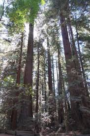 redwoods are the highest trees in the world picture of