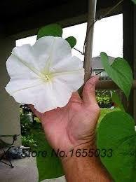 Fragrant Night Blooming Plants - moon flower vine seeds night blooming vine white flower
