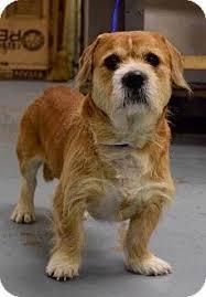 bearded collie adoption mustang ok corgi border collie mix meet bogart a dog for