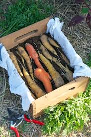 how to store carrots u0026 beets the art of doing stuffthe art of