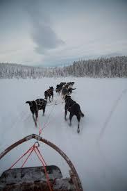 1084 best sled dogs images on pinterest animals siberian