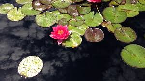 Lotus Flower In Muddy Water - why limit beauty to what you see in the mirror the muslimah network