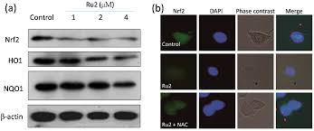 ijms free full text ruthenium complexes induce hepg2 human