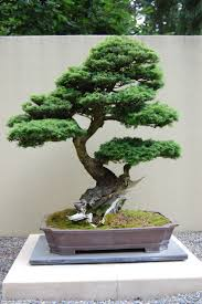 201 best bonsai images on pinterest bonsai trees bonsai plants