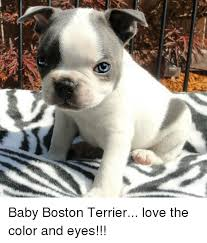 Boston Terrier Meme - 25 best memes about boston terrier boston terrier memes