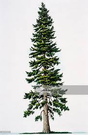 douglas fir tree douglas fir tree stock photo getty images