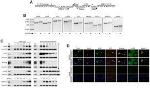 long rna transfection yields es cell level expression of