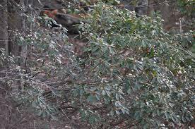 kalmia latifolia kalmia latifolia uri botanical gardens blog