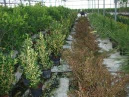 ornamental plants nurseries caliplant