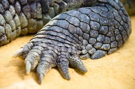 alligator claws crocodile resting with claw details stock photos freeimages