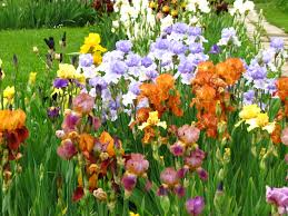 Irises How To Plant Grow by The Complete Guide On How To Plant Irises