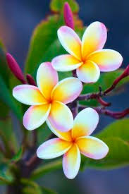 white plumeria by cazfoto via flickr flowers and plants