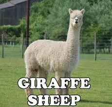 Alpaca Sheep Meme - alpaca giraffe sheep imgur