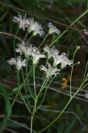 native plant seeds for sale 739 best florida native plants images on pinterest native plants
