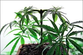 Recovering Cannabis Plants From High by A Complete Guide To Topping Training And Pruning Marijuana Plants