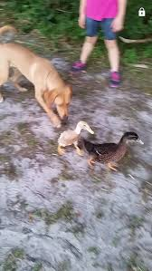 duck breed help 2 unknown ducks backyard chickens