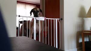 Compression Baby Gate Their Giant Dog Kept Escaping The Baby Gate So They Set Up A