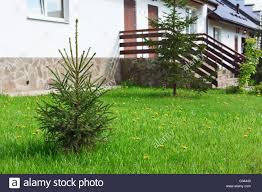 landscaping yard near house porch with small fir tree russian stock