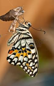 cocoon butterfly stock photos royalty free business images
