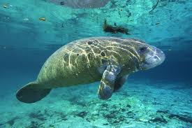 are manatees really responsible for mermaid myths howstuffworks