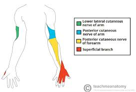 Shoulder And Arm Muscles Anatomy The Radial Nerve Course Motor Sensory Teachmeanatomy