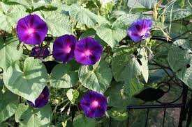 Morning Glory Climbing Plant - pruning morning glory vines u2013 how and when to cut morning glories