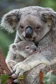 koala and cub we do not wash our pits in the pool of sacred