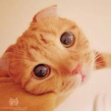 muta ginger cat resembles puss boots shrek