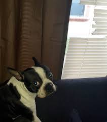 Dog Blinds Look Of A Boston Terrier Dog Who Eat Window Blinds