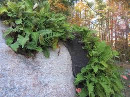 nc native plant society rock polypody fern lessons tes teach