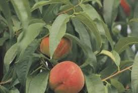 Backyard Fruit Trees The Best Midsize Fruit Trees Home Guides Sf Gate