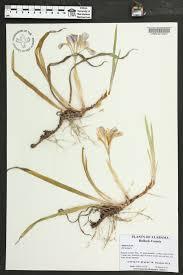 edge of the woods native plant nursery iris verna var smalliana species page apa alabama plant atlas