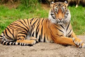 tiger hd wallpaper 0351