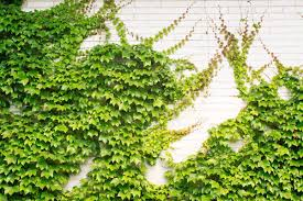 garden inspiring privacy plants with 3 evergreen wall climbing