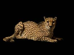 affectionate cheetahs wallpapers acrylic painting of cheetah cheetah on black background