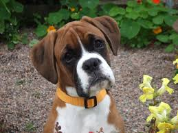 boxer dog breeders near me boxer dog photo face of boxer dog wallpaper hd normal