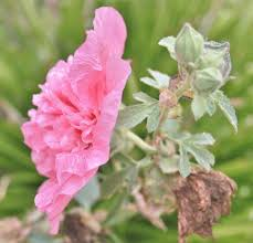 Hollyhock Flowers How To Grow Hollyhock From Seed Dengarden