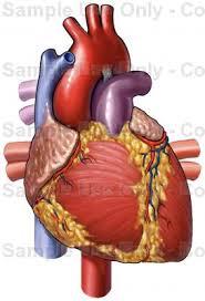 Human Anatomy Anterior Heart Anatomy Anterior Front View Medical Illustration