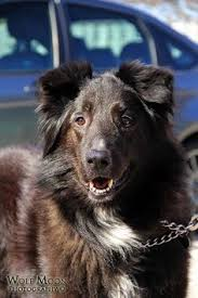 belgian shepherd dog rescue petango com u2013 meet mufasa a 1 year dutch shepherd retriever