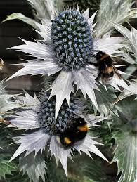 free photo ornamental thistles bumblebees free image on