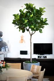 25 best ficus pandurata ideas on pinterest fiddle leaf plants