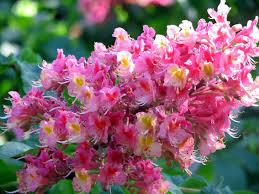 canada flowers flowers niagara falls botanical garden chestnut flower
