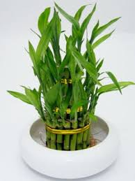 how to care for an indoor bamboo plant stepbystep living