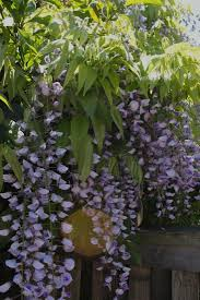Patio Tree Roses by Plant Of The Week Wisteria Gardenista