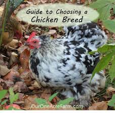 chicken breeds small with 15 popular breeds of chickens for