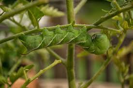 Umbrella Plant Diseases - controlling or avoiding leafminer damage to plants